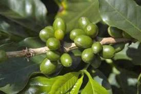 zöld kávé gyakori kérdések